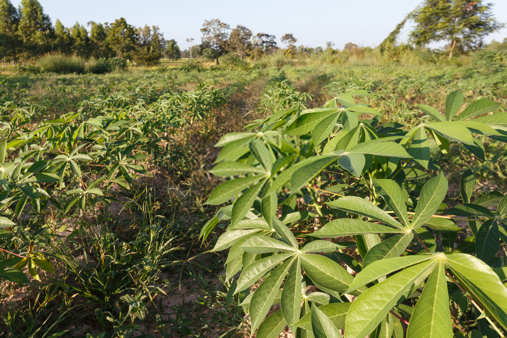 cassava plantation in nigeria